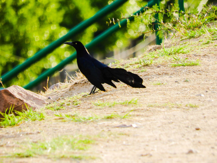 Bird One Animal Animals In The Wild Animal Wildlife Animal Themes No People Day Full Length Nature Outdoors Perching Grass Raven - Bird Water Tree Close-up Raven Black In Nature Black Power In Nature Beauty In Nature Scenics