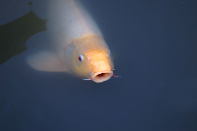 Close-up of fish swimming in a lake