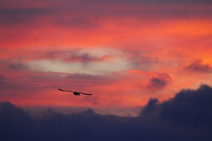 Animal Themes Animal Wildlife Animals In The Wild Beauty In Nature Bird Cloud - Sky Day Flying Mid-air Nature No People One Animal Orange Color Outdoors Scenics Silhouette Sky Spread Wings Sunset