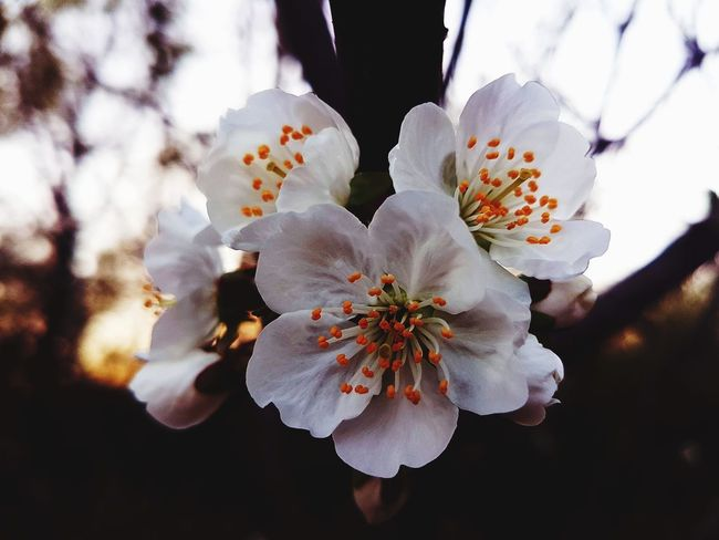 White Flower White Colors Colorful Spring Sunlight Flower Head Flower Tree Springtime Petal Branch Blossom Close-up Sky Plant In Bloom Blooming Botany Plant Life EyeEmNewHere Visual Creativity