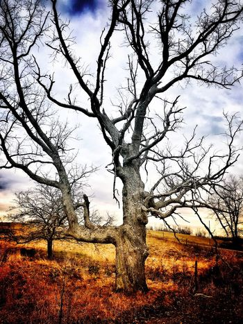 Gnarled Tree Tree Bare Tree Branch Tree Trunk Landscape Nature Outdoors Beauty In Nature Tranquility No People Scenics Lone