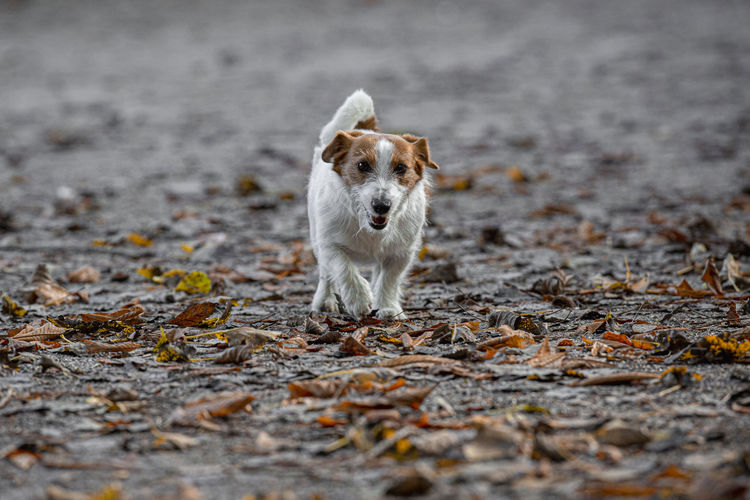 Portrait of dog running on road