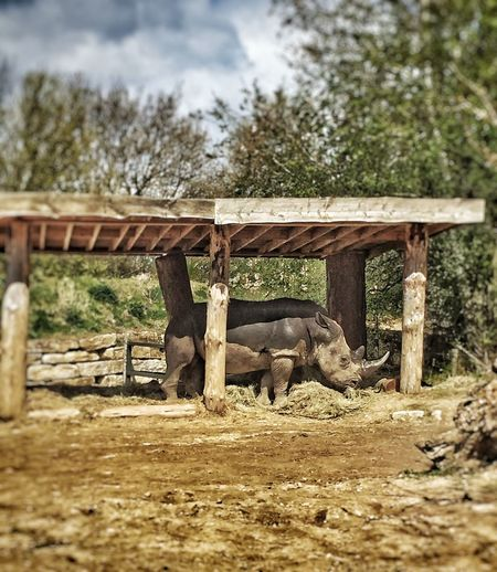 On zufari at Chessington World Of Adventures Rhino Check This Out Relaxing Uk EyeEm Best Shots EyeEmBestPics