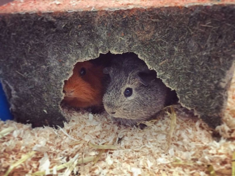 Pets Guineapig Sisters Family