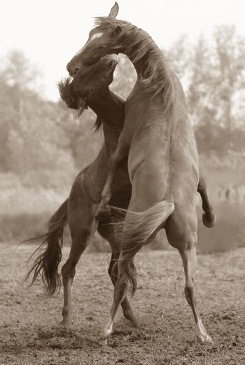 Horses fighting on field
