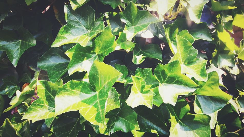 Ivy Ivy Leaves Ivy Photography Ivyleaves Lovely Nature Flowers Beauty In Nature Green Color Green Sunlight Leaf Backgrounds Close-up Plant Green Color Leaves Plant Life Natural Pattern In Bloom Blooming