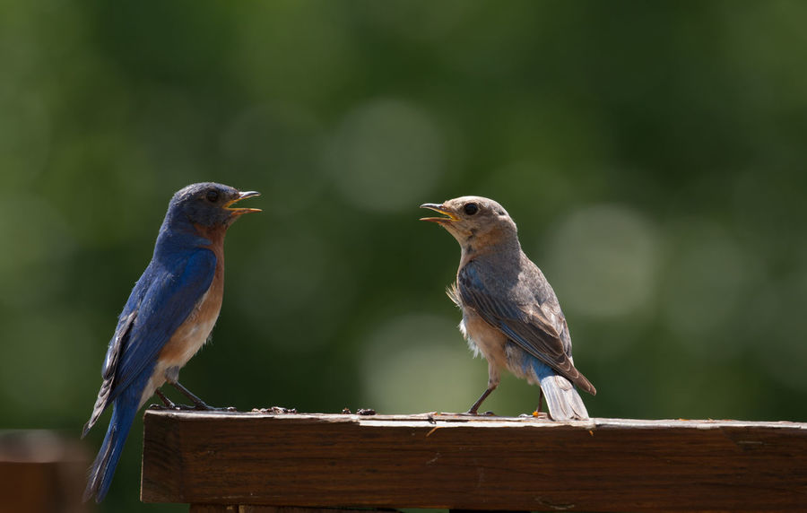 Singing couple!🐦🐤 Bird Birds Bluebirds Eastern Bluebirds Bird Singing Couple Birds Bird Standing Nature Animals In The Wild Animal Wildlife Close-up Animal Themes Perching Songbird  Animal in United States