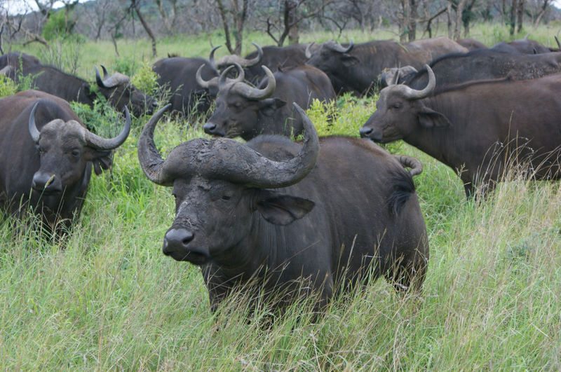 Herd of cape buffalos