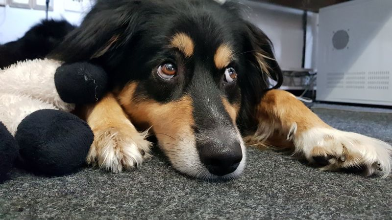 Dog Pets Animal Lying Down Looking At Camera Domestic Animals Black Color Portrait Mammal No People Close-up Day Animal Themes Dog❤ Australianshepherd Dog With Toy Indoors  Office