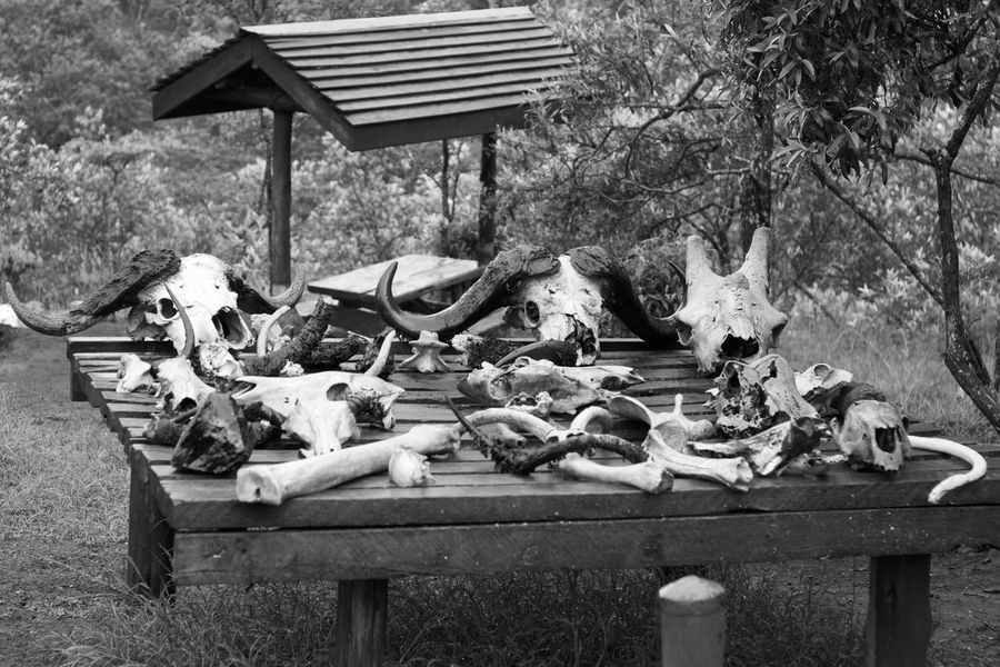 Buffalo skulls and bones on wooden table Africa Black And White Buffalo Dead Death Hell's Gate Horns National Park Nature Skull Skulls And Bones Table Wood