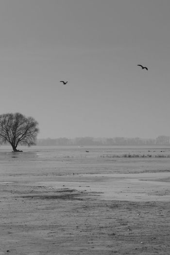 A couple of birds flying over a frozen meadow Clear Sky Flooded Ice Warta River Mouth National Park Animal Themes Animal Wildlife Animals In The Wild Bare Tree Bird Clear Sky Cold Temperature Flying Landscape Mid-air Nature No People Outdoors Sky Snow Spread Wings Stream Tranquility Tree Water Winter