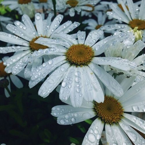 Close-up of water drops on white flower