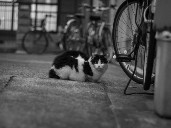 「ジャンクレンズ始めました🍥曇り有りカビ有り❗」 Black&white Monochrome EyeEm Animal Super Takumar 55mm 1.8 Oldlens Olympus Olympus Om-d E-m10 Domestic Cat Bicycle Cat Domestic Animals Stray Animal