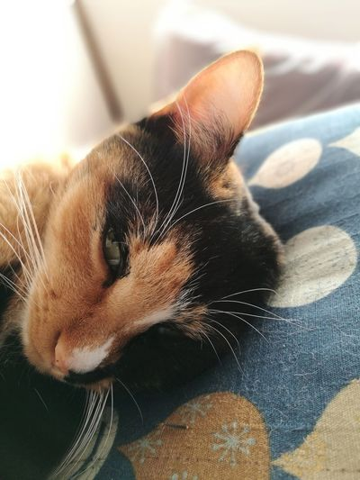 Calico Cat Sleepy Close-up Portrait Whisker Relaxation Love Cat Cute Cat Domestic Cat No People Indoors  Zabuton Domestic Room Animal Themes Feline Japan Fur