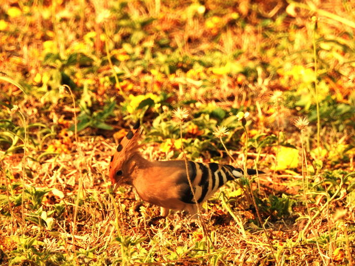 Hoopoe Bird Animal Themes Animals In The Wild Day Field Full Length Grass Mammal Nature No People One Animal Outdoors