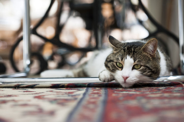 Omiros watching... Alertness Animal Head  Animal Themes Carpet Cat Comfortable Depth Of Field Domestic Animals Domestic Cat Focus On Background Full Frame Home Horizontal Indoors  Looking At Camera One Animal Pets Portrait Relaxation Relaxing Selective Focus Watching Whisker