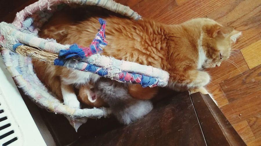 Foster Mom Kitten Orange Cat Furbaby Crazy Cat Lady Motherhood