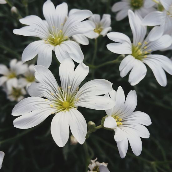 Flower Flower Head Fragility Plant Springtime Petal White Color Close-up Growth Nature Beauty In Nature Focus On Foreground Freshness No People Day Outdoors Natire VIBES☘ Vanila Sky