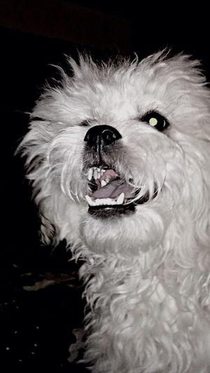 Quite a furr-ocious beast, haha 😉 Puppy Love Cute Pets Bichonfrise Shitzu Fluffy Cheese! Enjoying Life Dog Hi!