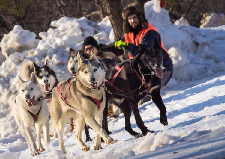 Dogsled race Animal Animal Themes Close Up Cold Temperature Day Dog Dog-sledding Doglegs Dogs Dogslade Dogsled Dogsledding Dogsleds Dogslegding Domestic Animals Leisure Activity Winter Winter Winter Sport Wintertime