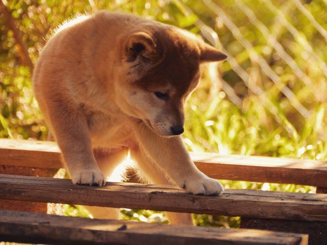 YUMI - new family member Shiba Inu in Sunlight Puppy Animal Themes October Tadaa Community YUMImaus