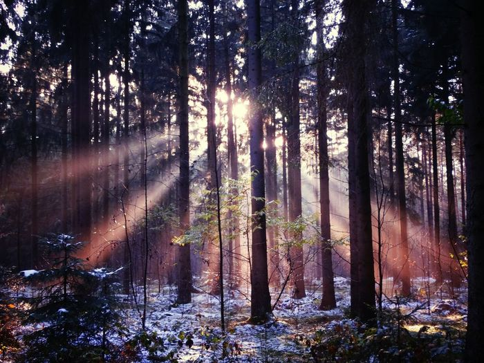 Mystical Atmosphere Sunbeams tree Forest Nature Growth WoodLand Beauty In Nature Tranquility Tree Trunk No People Outdoors Scenics Landscape Plant Sky Day Colorful Colorful Winter Pink Sunbeam Pink Light Mystical Forest