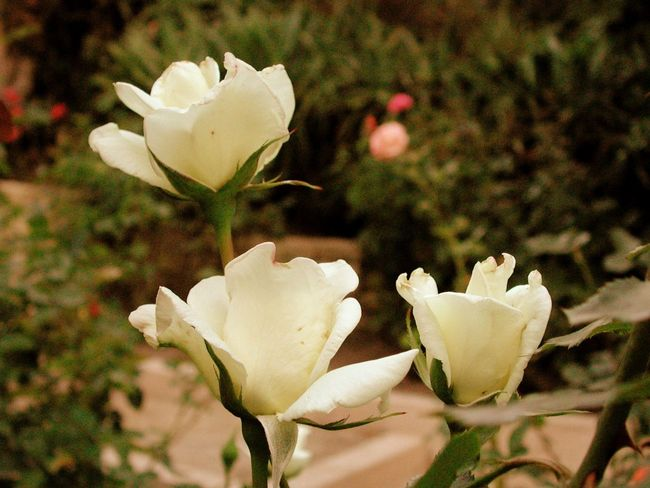 Beauty In Nature Blooming Blossom Botany Close-up Flower Flower Head Focus On Foreground Fragility Freshness Growth In Bloom Nature Petal Plant R.tullis Rose - Flower Single Flower Stem White White Color
