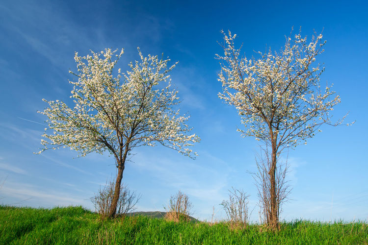 Field Sky Tree Beauty In Nature Land Grass Nature Scenics - Nature Growth Tranquil Scene Landscape Day Blue Environment Tranquility Non-urban Scene No People Outdoors Springtime Spring Tree Two Trees Blooming In Bloom Trees In Bloom