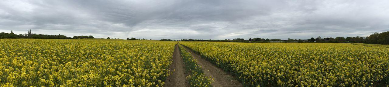 Tire tracks in rapeseed field