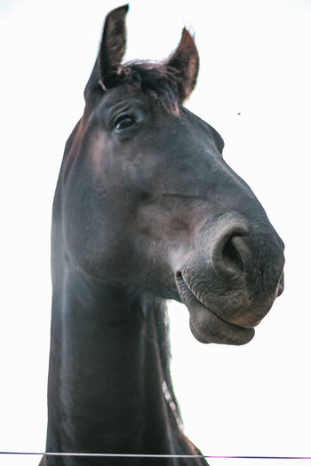 Close-up of horse against white background