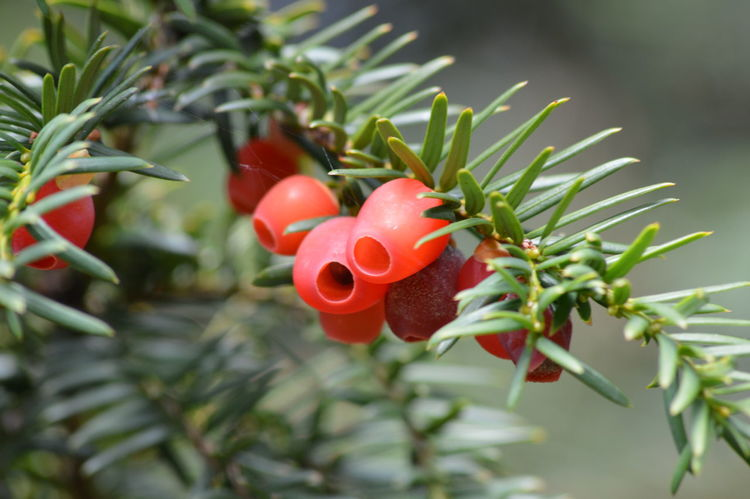 Yew Tree Beauty In Nature Branch Close-up Day Focus On Foreground Freshness Green Color Growth Nature No People Outdoors Plant Red Tree Yew Berries Yew Leaves