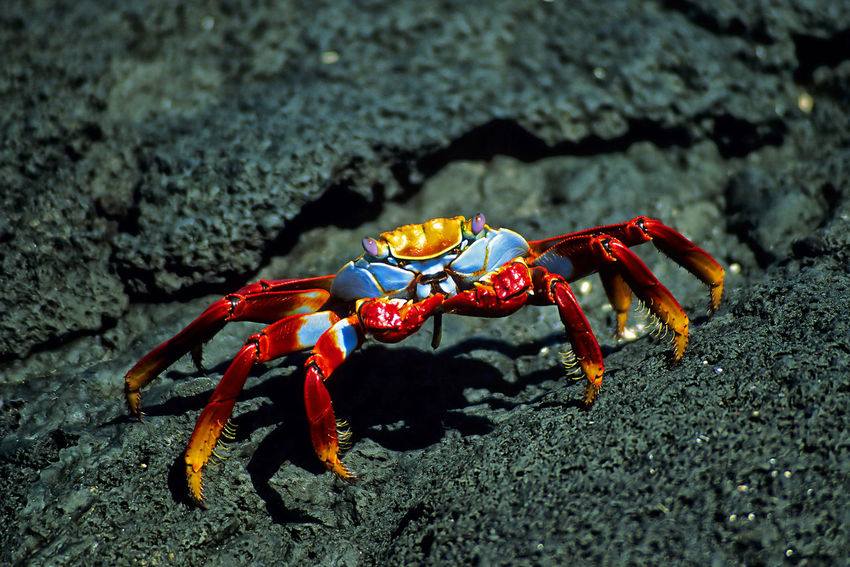 Sally Lightfoot Cliff Crab, Galápagos Crab Crustacean Galapagos Red Rock Creek Park Sally Lightfoot Crab Tropics Animal Animal Wildlife Animals In The Wild Beach Blue Cliff Crab Colorful Crustacean Ecuador Felsenkrabbe Klippenkrabbe Krabbe Marine Nature Sally Lightfoot South America Tropical Wildlife The Great Outdoors - 2018 EyeEm Awards