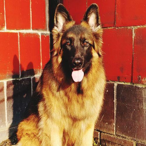 My Puppy EyeEmNewHere German Shepherd GSD Pets Dog One Animal Domestic Animals Looking At Camera Portrait Mammal