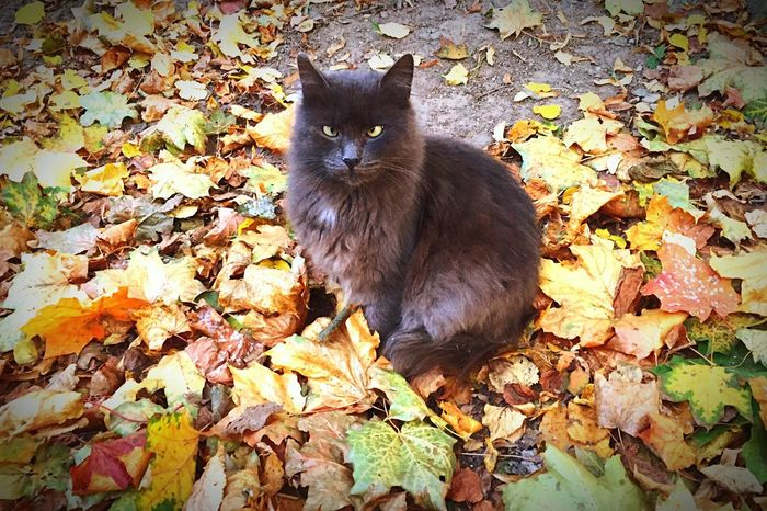 Crosseyedbeauty Cat among the Autumn Leaves One Animal Animal Themes Domestic Cat Domestic Animals Pets Nature Outdoors Feline Fallen Leaves