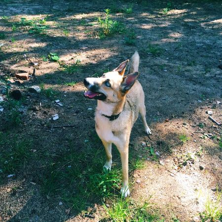 Dog Pets Domestic Animals One Animal Animal Themes Mammal High Angle View Outdoors Grass Day No People Woods Blue Eyes Dog Photography Shepsky Lilu Lilu The Shepsky Lilushastik Forest