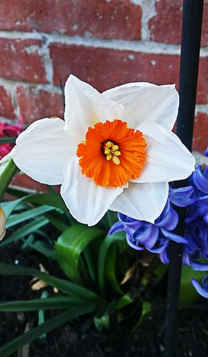 The bright one! ~ Beautiful Flower In Portland Maine USA Happiness My Unique Style Spring Flowers Nature_perfection Springtime Beauty In Nature No People Tranquility Nature Lover Garden Plants Loving The Landscape Color Of Life Daffodils Hyacinth Blue White Brick Wall In The City Flower Head Flower Petal Close-up Blooming Plant Blossom Plant Life