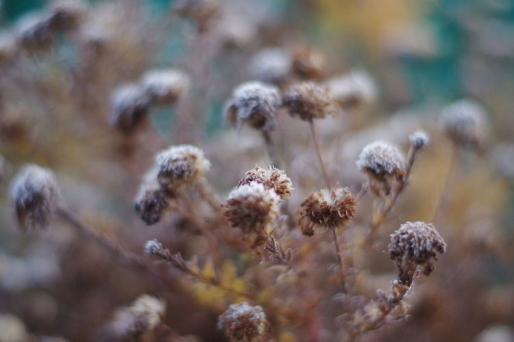Close-up of wilted plant on field during winter