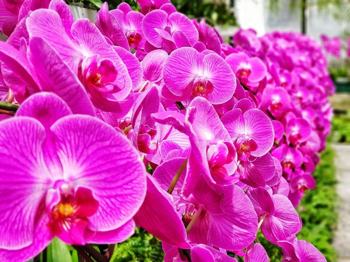 Phaelanopsis Flower Head Flower Petal Close-up Plant Blossom Blooming Orchid