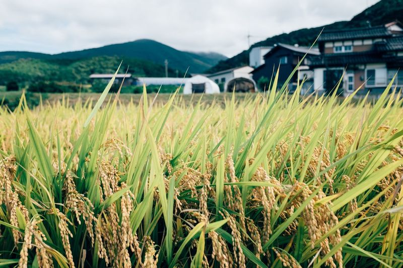 Rice paddy Rice Fields  Rice Field Rice Paddy Architecture Built Structure Building Exterior Sky No People Field Day Grass Mountain Nature