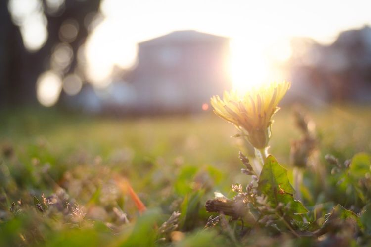 Dandelion Plant Nature Close-up Sunlight Sky Growth No People Sunset Flower Beauty In Nature Outdoors Day