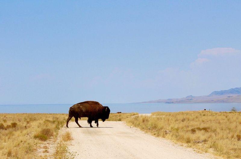 Bison crossing dirt road