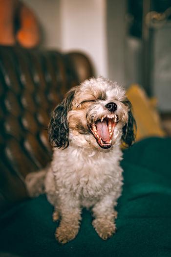 Dog on sofa at home