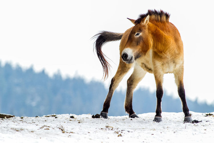 Horse standing on snow field against clear sky