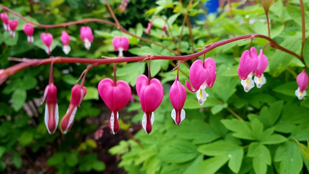 Beauty In Nature Blooming Branch Close-up Day Flower Flower Head Focus On Foreground Fragility Freshness Growth Heart Flower Leaf Nature No People Outdoors Petal Pink Color Plant Springtime Tree