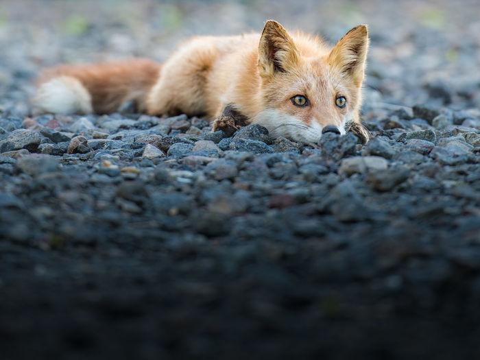 Fox On Gravel