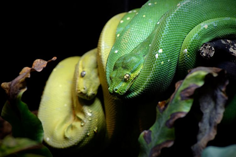 Animal Themes Animal One Animal Close-up Animals In The Wild Animal Wildlife Reptile Focus On Foreground Green Color Snake