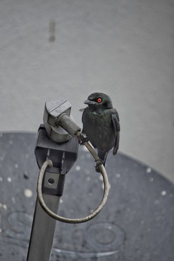 Black Bird Red Eyes Feathers Feathered Bird Satellite Dish Perched Perching Bird Avian Black Winter No People Day Outdoors Snow Bird Close-up