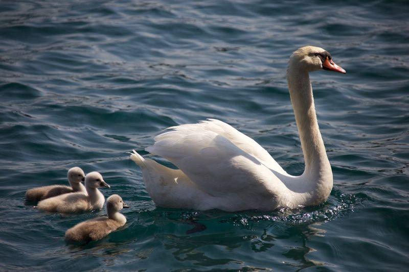 Swans Bird Water Animals In The Wild Animal Themes Swan Animal Wildlife Vertebrate