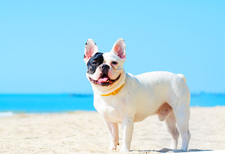 Animal Animal Themes Beach Canine Day Dog Domestic Domestic Animals Focus On Foreground Horizon Over Water Land Mammal Nature No People One Animal Pets Purebred Dog Sand Sea Sky Small Sunlight Vertebrate
