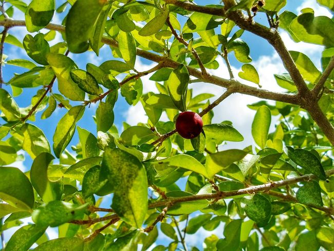 🍒🍒🍒 Fruit Growth Tree Leaf Nature Food Green Color Low Angle View Branch Healthy Eating Food And Drink Red Freshness No People Close-up Outdoors Sky Beauty In Nature Day Cherry Cherries Photography Shooting Cloud - Sky